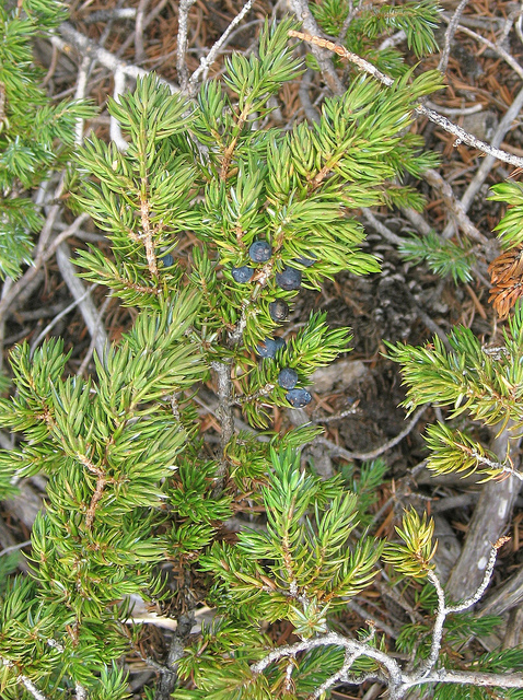 Juniper berries from the Long Now property