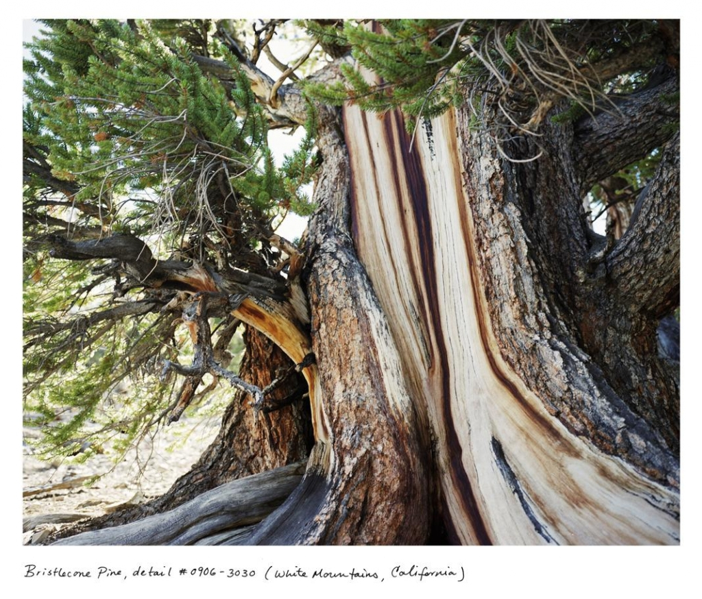 from Rachel Sussman's The Oldest Living Things in the World - Bristlecone